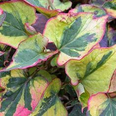 Variegated chameleon plant leaves.These plants are invasive so best to plant in containers NOT in the ground.