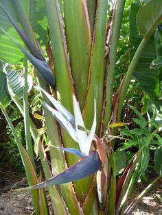 Feature plant   White/Giant Bird of Paradise (Strelitzia nicolai) flower