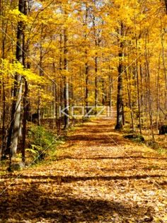 yellow walking trail - A walking trail with yellow leaves