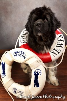 And to think my newfoundland hates getting a bath. Guess he's out for water rescuing.