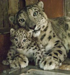 Misha the Snow Leopard and cub at Denver Zoo 2013 I Love Cats, Big Cats, Cool Cats, Cats And Kittens, Siamese Cats, Beautiful Cats, Animals Beautiful, Cute Baby Animals, Animals And Pets