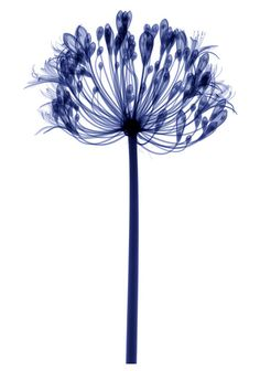 X-rays+of+flowers+by+Hugh+Turvey+-+Telegraph_1280836002459.jpg 440×628 pixels