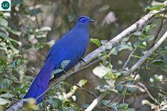 https://www.facebook.com/WonderBirdSpecies/ Blue coua (Coua caerulea); Endemic to the island of Madagascar; IUCN Red List of Threatened Species 3.1 : Least Concern (LC)(Loài ít quan tâm) || Chim Cu cu lam; Loài đặc hữu đảo Madagascar; HỌ CU CU - CUCULIDAE (Cuckoos).