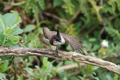 Red-whiskered Bulbul photo: A bird streaching the wing | the ...