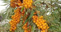 Jak na výrobu medu z rakytníku Home Canning, Dyi, Herbalism, Vegetables, Food, Syrup, Canning, Veggies, Essen