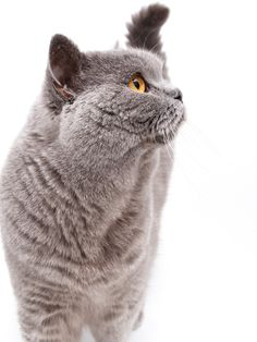 Portrait of a grey british cat - Portrait of a grey british cat isolated on white background