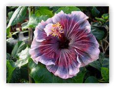 hibiscus Midnight Frolic