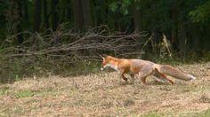 Vossen zijn echte roofdieren. Ze houden van jagen en eten graag muizen. Kangaroo, Vossen, Animals, Dog, Baby Bjorn, Diy Dog, Animales, Animaux, Animal