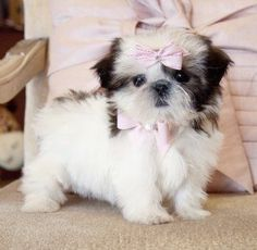 Tiny Shihtzu PrincessThe Cutest face!SOLD! Found a Loving Home in Ocala!