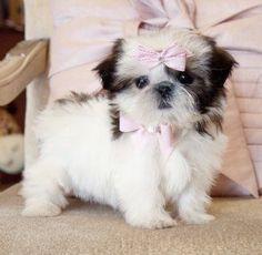 Tiny Shihtzu PrincessThe Cutest face!SOLD! Found a Loving Home in Ocala!