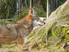 A program designed to save the critically endangered Red Wolf is severely understaffed and unable to adequately perform its duties, leaving the species on the brink of extinction. Demand that U.S. Fish and Wildlife officials address the program's concerns and save these precious and iconic animals.