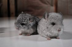 186 Baby Chinchillas That Will Melt Your Heart Small Animals, Cute Baby Animals, Animals And Pets, 5 Babies, Cute Babies, Chinchilla Cute, Chinchillas, Animal Species, Pet Birds