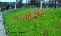 Wildflowers on CR 2008 in Glen Rose