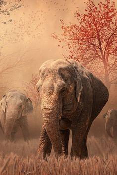 Elefantes asiaticos - Animal -> Por: Angel Catalán Rocher! CLICK -> pinterest.com/AngelCatalan20/boards/ <- Sígueme!