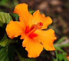 https://flic.kr/p/UHjRRa | Orange Hibiscus. | Taken in Alameda Botanic Gardens, Gibraltar.
