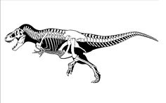 Greg Paul popularized the practice of showing the full skeleton of a dinosaur surrounded by a black outline to represent its flesh. Description from projectinfluenza.blogspot.com. I searched for this on bing.com/images