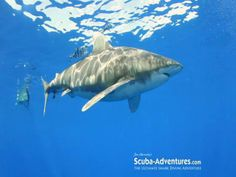 Video from our 2011 Oceanic White Tip diving expedition aboard the Shearwater with Jim Abernethy.  Stills and video by Jim Abernethy.  http://www.scuba-adventures.com