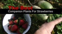 TSG: Companions for Growing Organic Strawberries