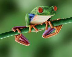 Red-Eyed Tree Frog (Agalychnis callidryas) - Central America