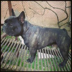 Bush- the french bulldog