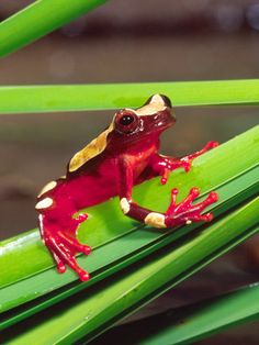 Clown Tree Frog, Native to Surinam, South America ~ By David Northcott Funny Frogs, Cute Frogs, Beautiful Creatures, Animals Beautiful, Cute Animals, Frosch Illustration, Frog And Toad, Tier Fotos, Reptiles And Amphibians