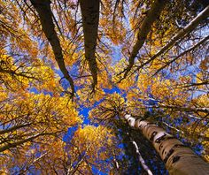 ♥ Autumn leaves and the deep blue sky of Fall ... Bishop, California