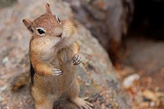 *Adorable!  Little chipmunk has a mouth full.  (by PixelHoundSF)