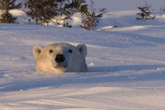 A mother polar bear peeking out of her den at sunset, Manitoba, by Christine Haines