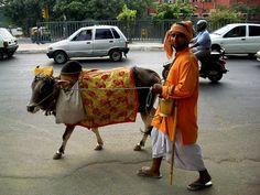 Well-loved cow, Delhi John Hill - Delhi in 2004. http://en.wikipedia.org/wiki/Cattle_in_religion