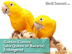 Golden Conure - Endangered