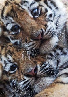 tiger babies!