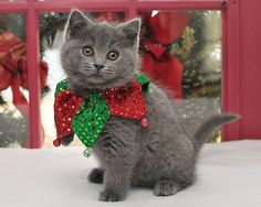Bebe (via Steve Bekdon) For more Christmas Cats, visit https://www.facebook.com/funholidaycats