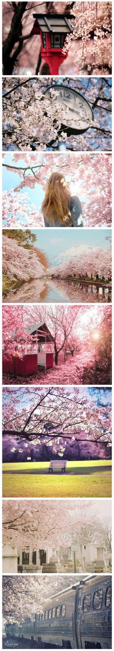 japanese cherry blossoms. My favorite.