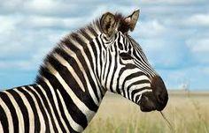 Afbeeldingsresultaat voor zebra