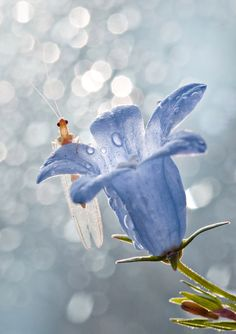 Beautiful pic of delicate blue flower with a bug on it. So pretty! by Magda Wasiczek