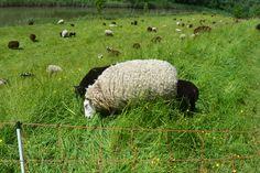 aan het grazen