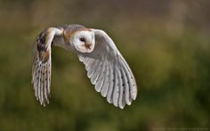 Barn owl by Gianluca Mariani. All owls are beautiful but then really every animal is to me, even those maligned by others. Well... maybe not ticks, lice and fleas. :)