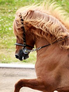 Icelandic horse   ...........click here to find out more     http://googydog.com