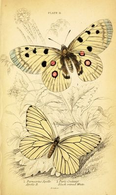 Vintage butterfly illustration printable; white butterfly