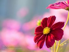 Red cosmos by chusan1177. Please Like http://fb.me/go4photos and Follow @go4fotos Thank You. :-)