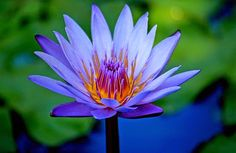 prehistoric flower | Nymphaea caerulea, also known as the Egyptian blue lily or sacred blue ...