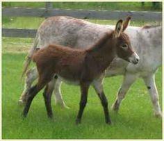 Adorable mini Donkeys - $350 (Mishicot)  muskegon.americanlisted.com