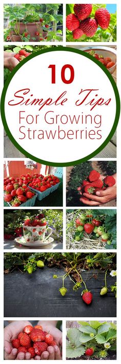 10 Simple Tips for Growing Strawberries Growing strawberries, fruit gardening, strawberries, popular Veg Garden, Fruit Garden, Edible Garden, Lawn And Garden, Garden Plants, Vegetable Gardening, Landscaping Plants, Landscaping Ideas, Strawberry Garden