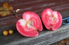 Gartentipps - Gartencenter Schittenhelm: Urform der rotfleischigen Apfelsorten wiederentdeckt. Malus niedzwetzkyana