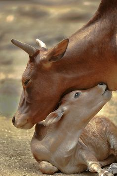 Mother Cow and her new calf share a moment....