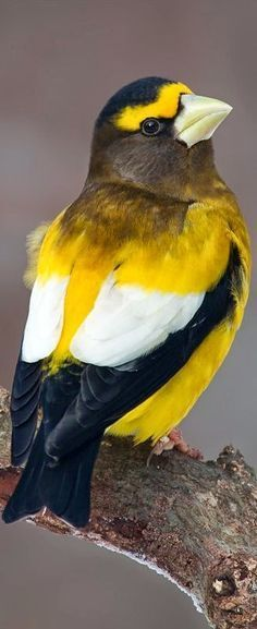 The Evening Grosbeak is a songbird without a song—that is, it does not seem to use any complex sounds to attract a mate or defend its territory