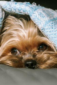 Cute Puppies, Cute Dogs, Dogs And Puppies, Doggies, Chien Yorkshire Terrier, Pug, Yorshire Terrier, Yorky, Fluffy Dogs
