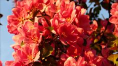 ✿My beautiful pink crab apple flowering trees in the golden hour✿