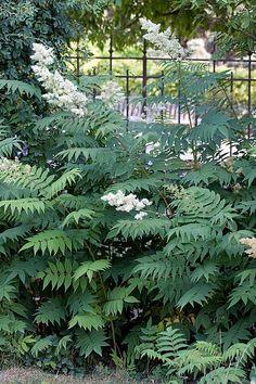 Sorbaria sorbifolia - Drageonne !