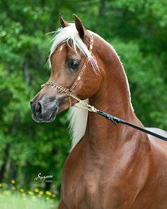 Arabian Horse by rosebud2220